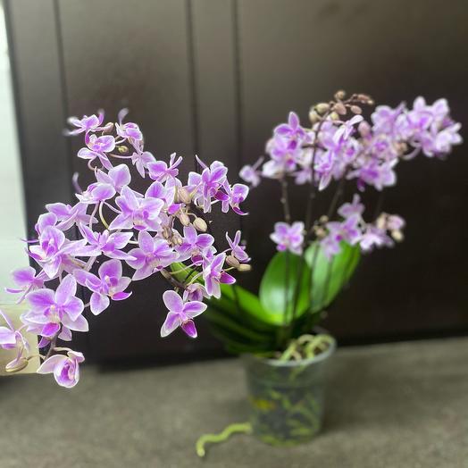 Комнатное растение орхидея. Отцвело