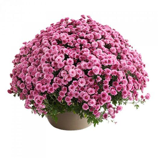 Букет из 101 розовой хризантемы кустовой: букеты цветов на заказ Flowwow