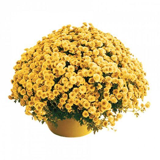 Букет из 101 желтой хризантемы кустовой: букеты цветов на заказ Flowwow