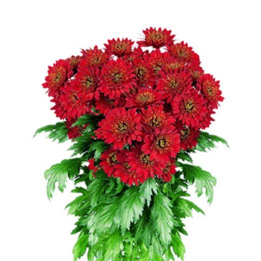 Букет из 15 красных хризантем: букеты цветов на заказ Flowwow