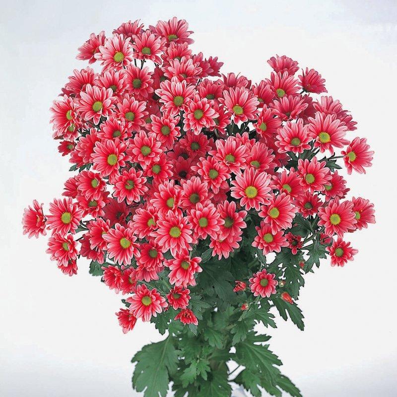 Букет из 7 красных хризантем: букеты цветов на заказ Flowwow