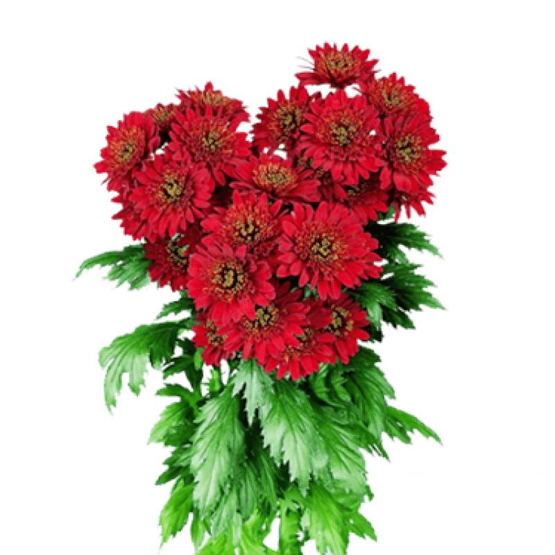 Букет из 11 красных хризантем: букеты цветов на заказ Flowwow