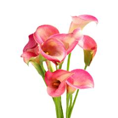 Букет из 7 розовых калл: букеты цветов на заказ Flowwow